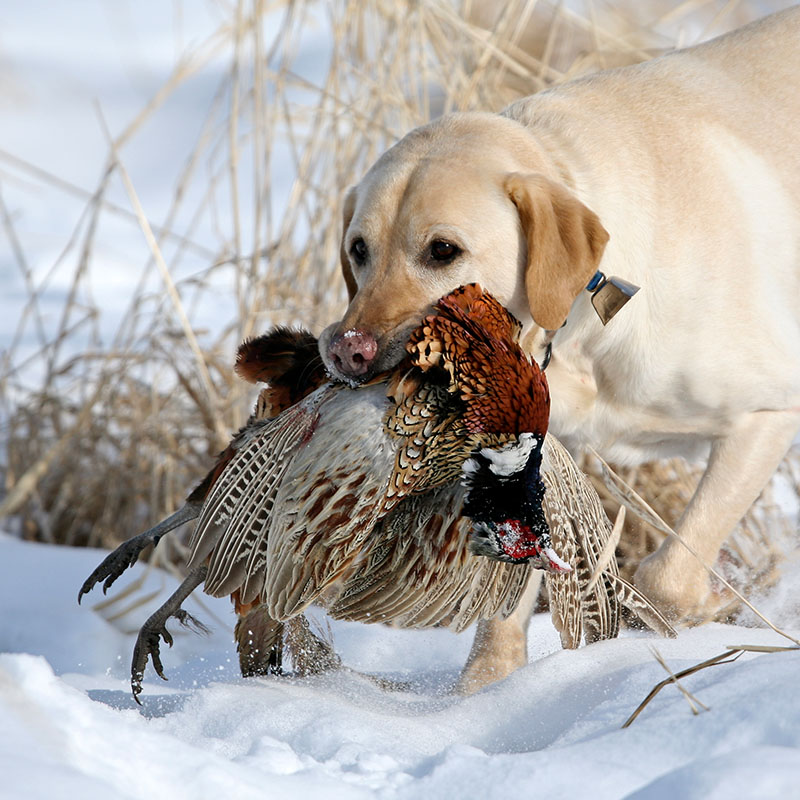 Yellow Lab pheasant hunting in the snow at American Heritage Hunting Club